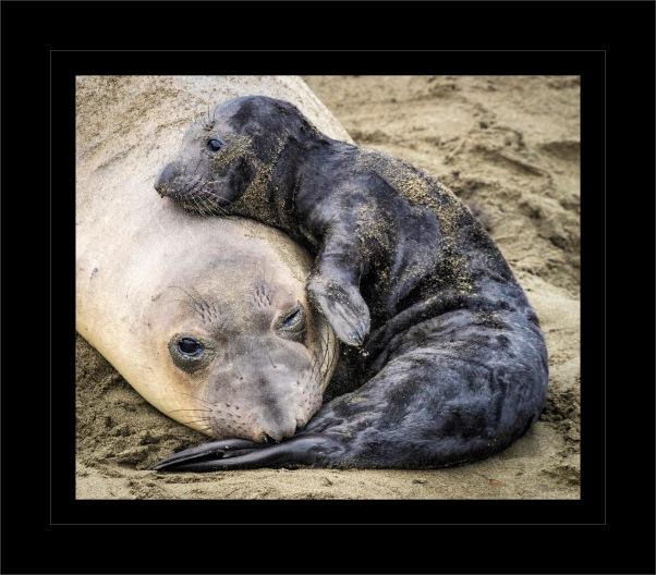 E Seal Pup