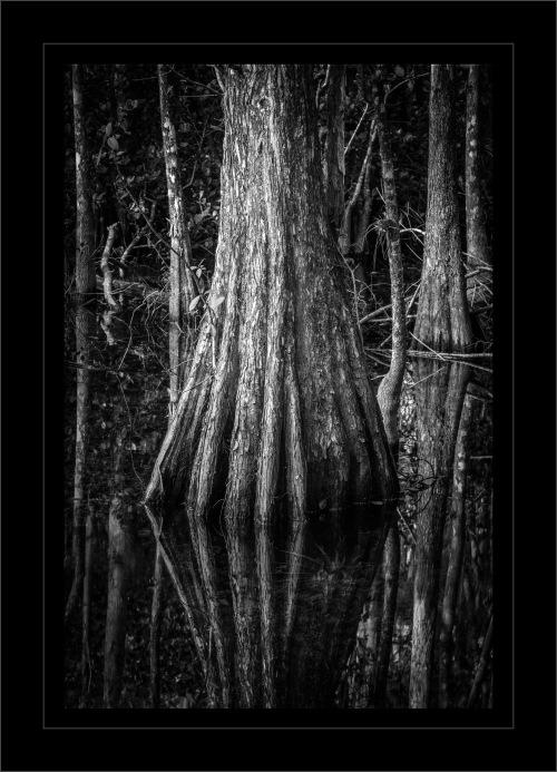 Fakahatchee Strand Cypress 2